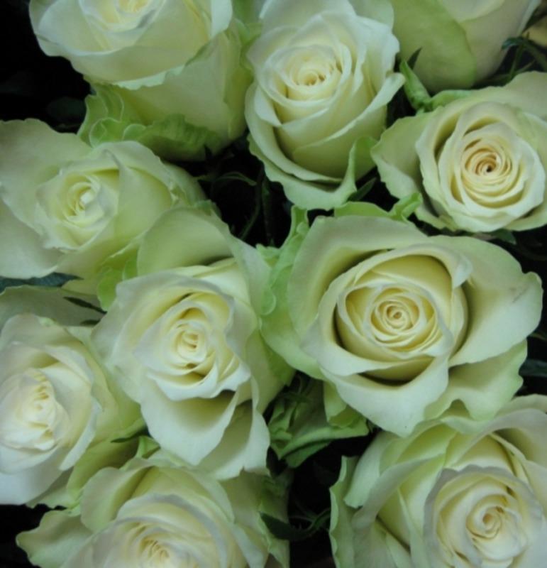 Roses Quot Athena Quot