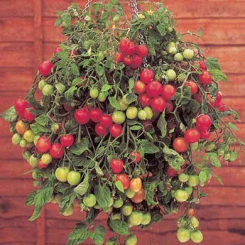 Помидоры на балконе: выращивание комнатных растений, фото и .